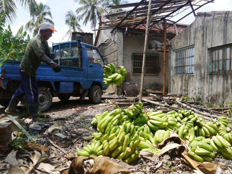 蕉農將「處理」過的香蕉載回蕉園當堆肥。記者徐白櫻/攝影