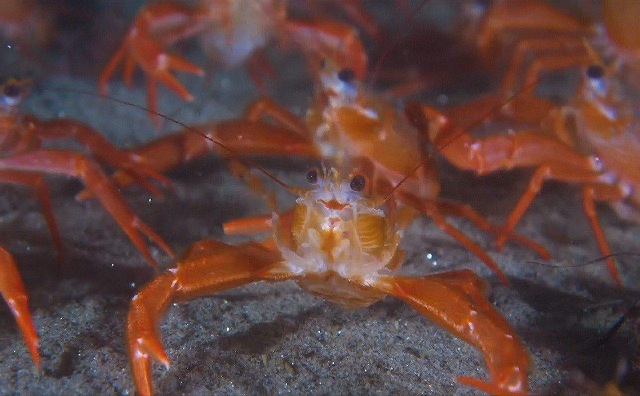 潛水員烏尊(Roger Uzun)3月在加州聖地牙哥外海拍到的小紅蟹大軍。 擷自...