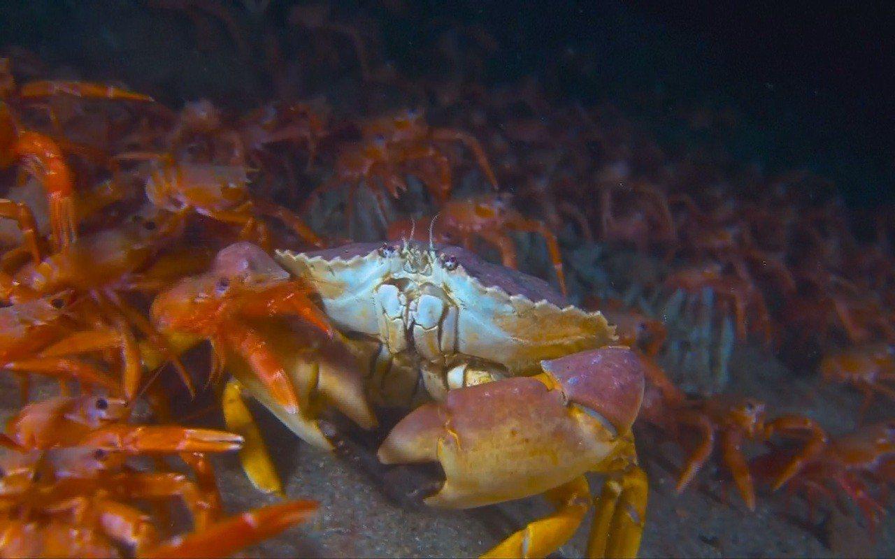 一隻大螃蟹身處在一望無際的小紅蟹大軍中。 擷自VIMEO、ROGER UZUN