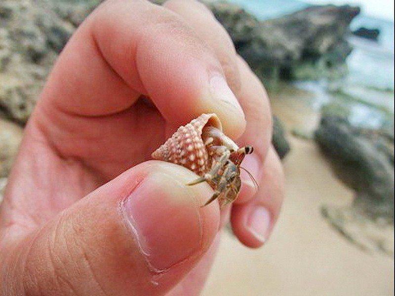 墾丁寄居蟹不僅面臨人為盜抓危機,遊客將貝殼帶走,也讓牠們無家可住。記者潘欣中/翻...