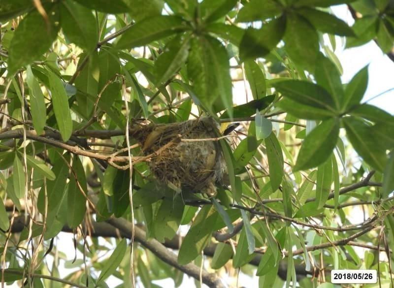 高雄市大寮區忠義國小校園內有黃鸝築巢,但疑為受到拍攝者除枝去莢的干擾,親鳥未及孵...