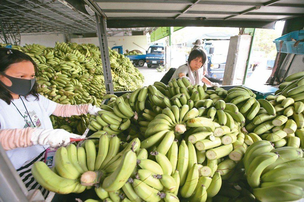 旗山香蕉盛產造成價格崩跌,農糧署以一公斤五元收購香蕉,並在集貨場用刀片銷毀後讓農...