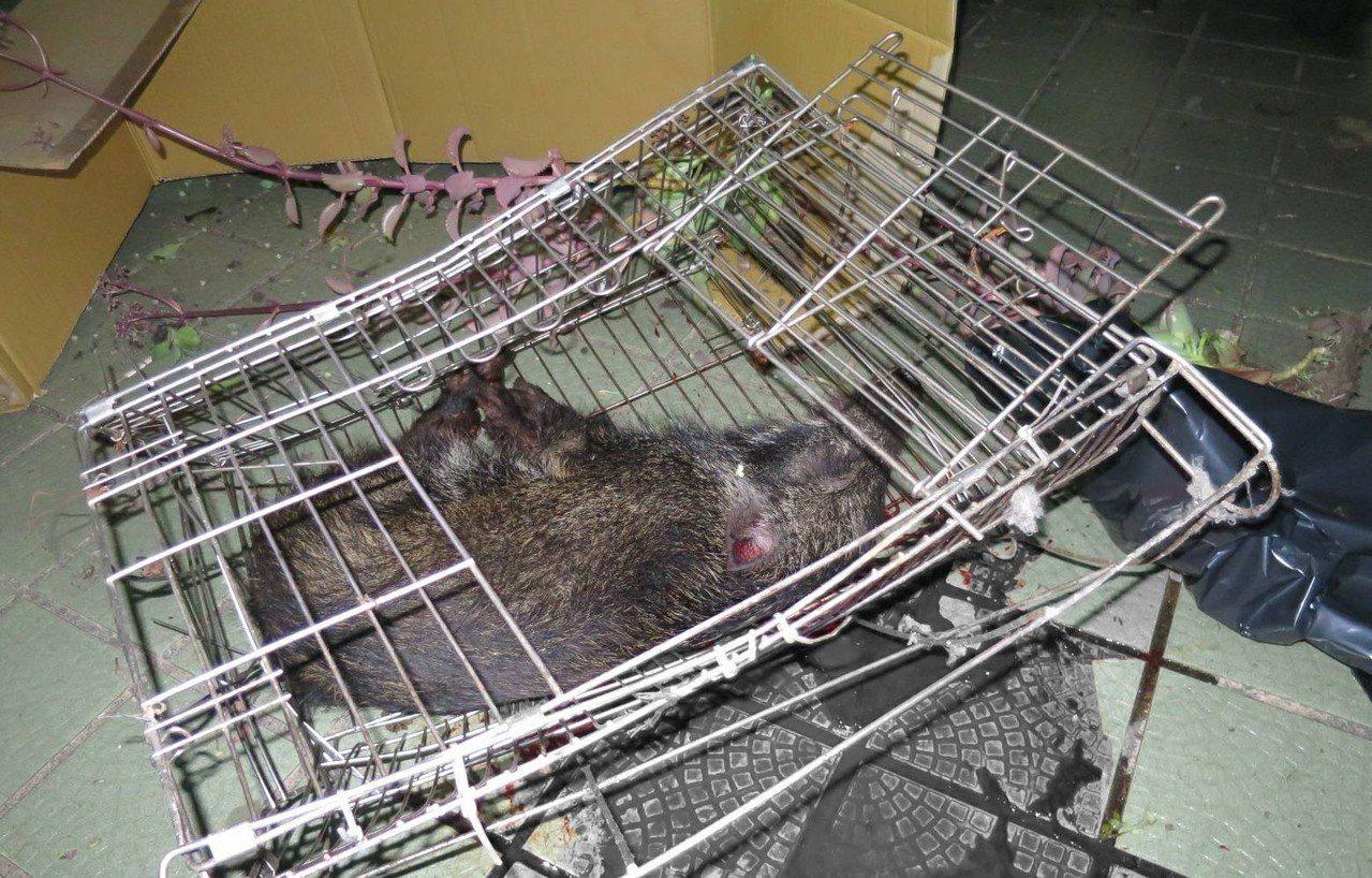 警解剖山豬遺體,查出主人摔死牠。圖經變色處理/記者游振昇翻攝