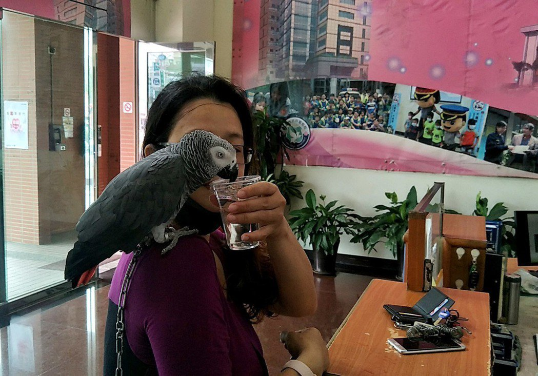 桃園市方姓女子飼養灰鸚鵡(見圖)走失尋獲十分高興,灰鸚鵡高智商,聰明個性溫順,喝...