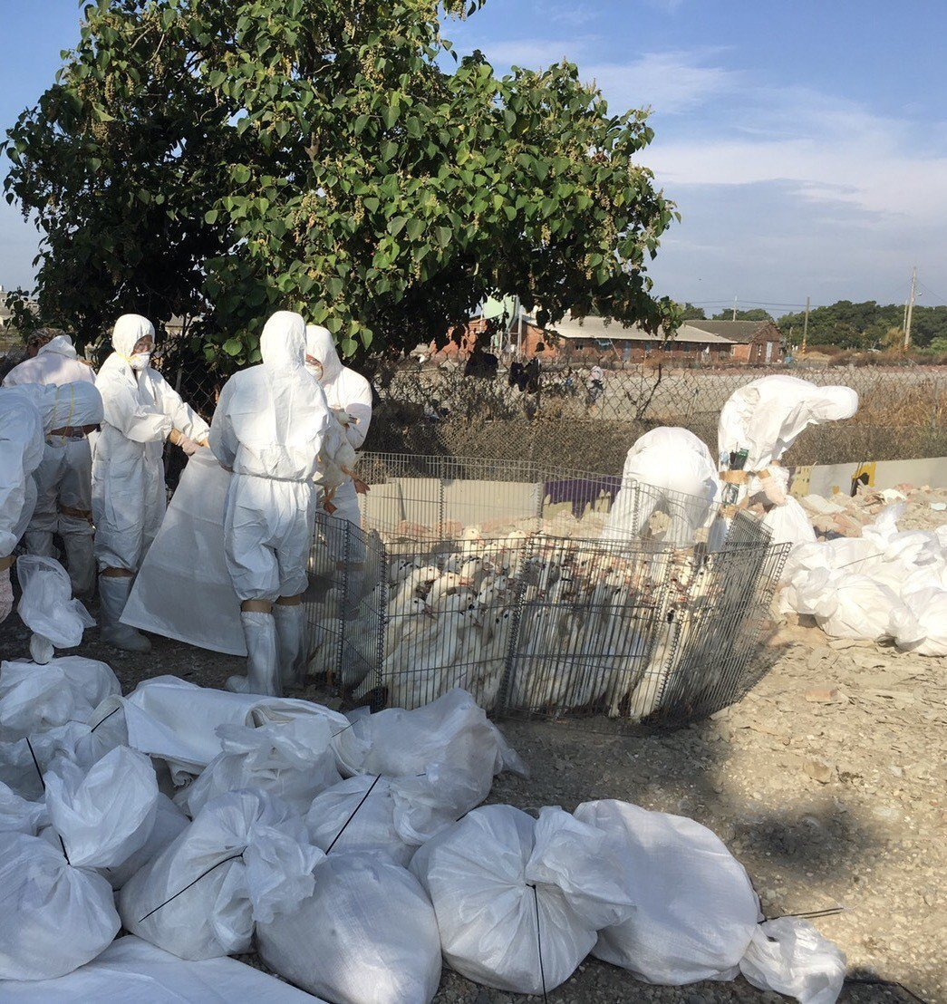 台南麻豆某養鴨場傳出禽流感,今天農政單位完成撲殺。記者謝進盛/翻攝