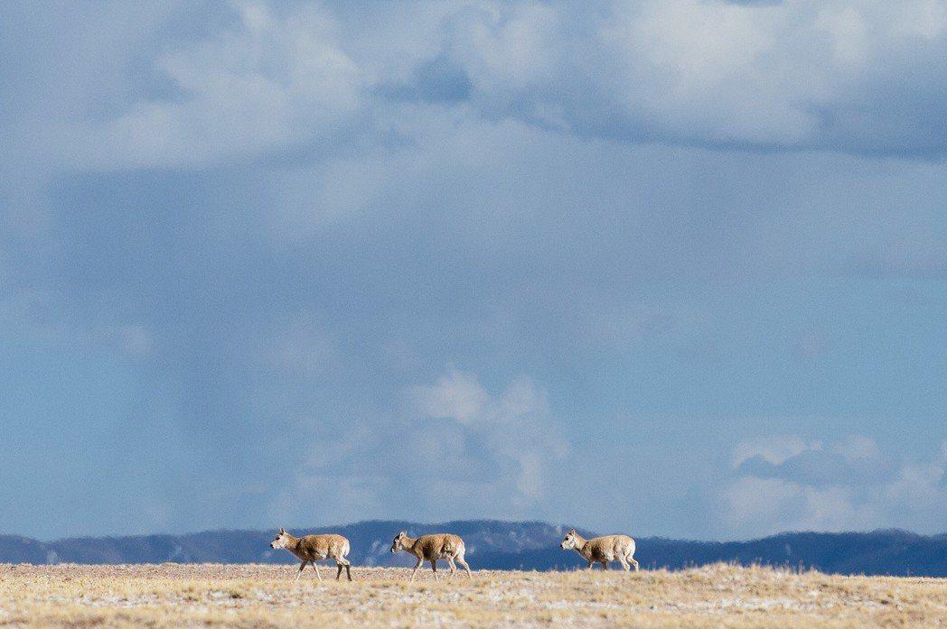 藏羚羊遷徙是世界上最為壯觀的有蹄類動物大遷徙之一,每年它們都要成群結隊翻過崑崙山...