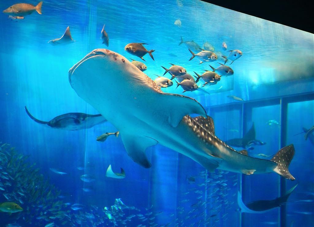 ▲沖繩美麗海水族館。(圖/Tripbaa趣吧!亞洲自由行專家)