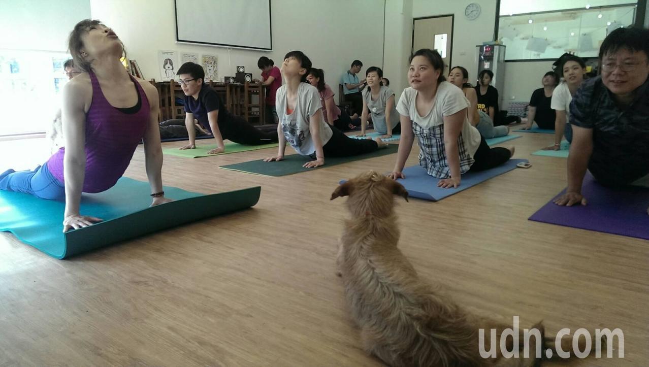 高雄市動保處燕巢動物保護關愛園區正在推廣的狗狗瑜伽 。記者謝梅芬/攝影