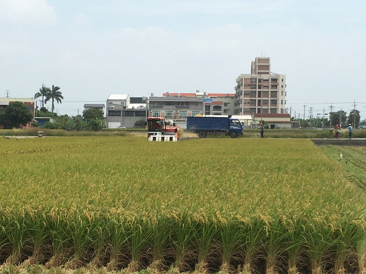 雲林縣一期稻作開始收割,西螺鎮農會首日每百台斤濕穀收購價約920元。記者陳雅玲/...