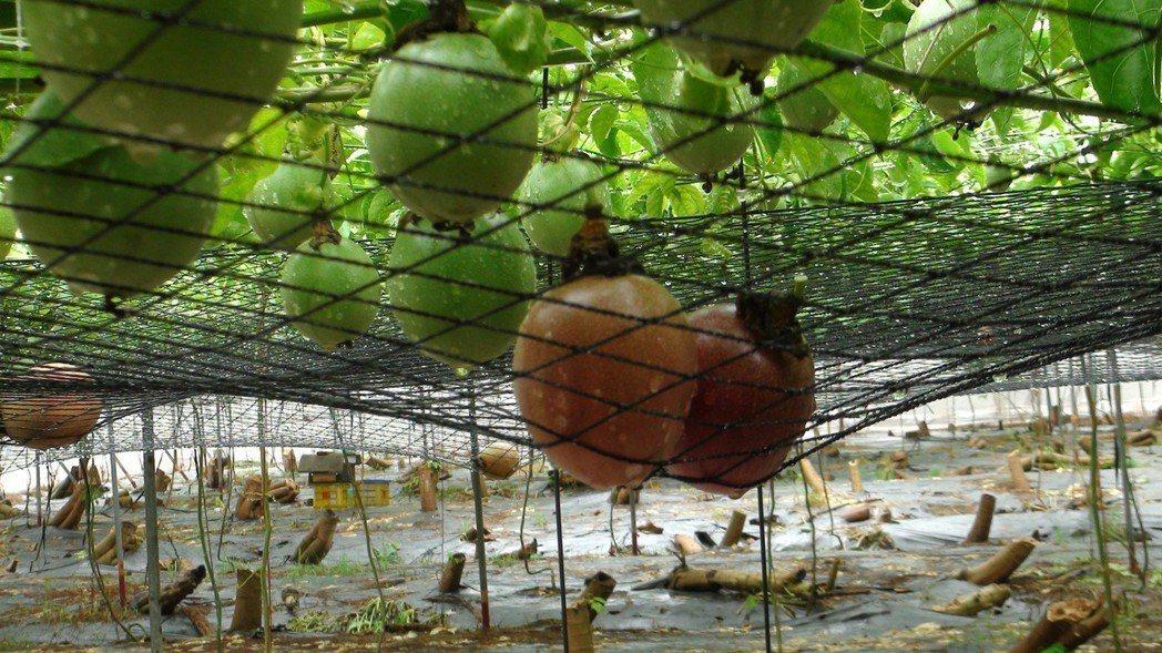 中埔鄉農會鼓勵木瓜園輪種,不要種香蕉,改種百香果,試種的農民都樂翻了。記者謝恩得...