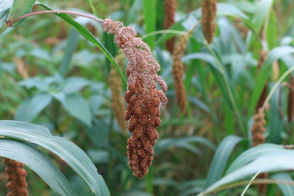 小米熟成期,農民常要和愛吃小米的鳥群抗戰。圖/農委會提供