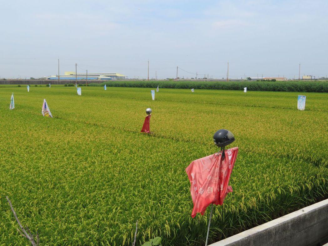 農民發揮創意,用竹子披紅喜璋戴安全帽變稻草人吸睛。記者魯永明/攝影