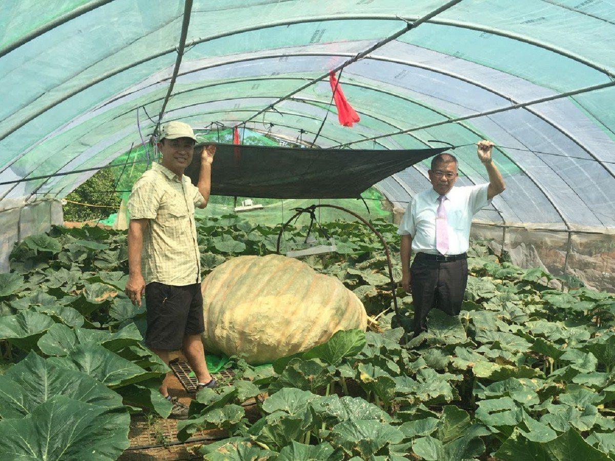 淡水瓜農林建訓(左)預備參賽的大南瓜,從外觀看來有可能突破去年冠軍868台斤重量...