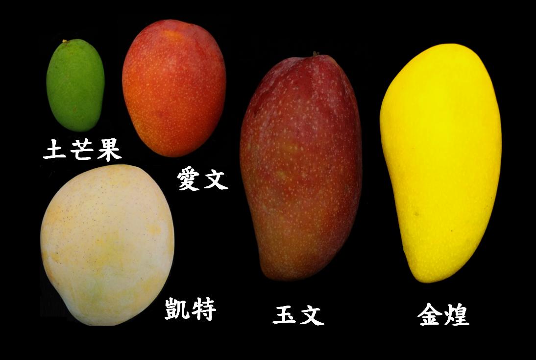 台南區農改場用一張圖,教民眾分辨五大常見芒果。圖/台南區農改場提供