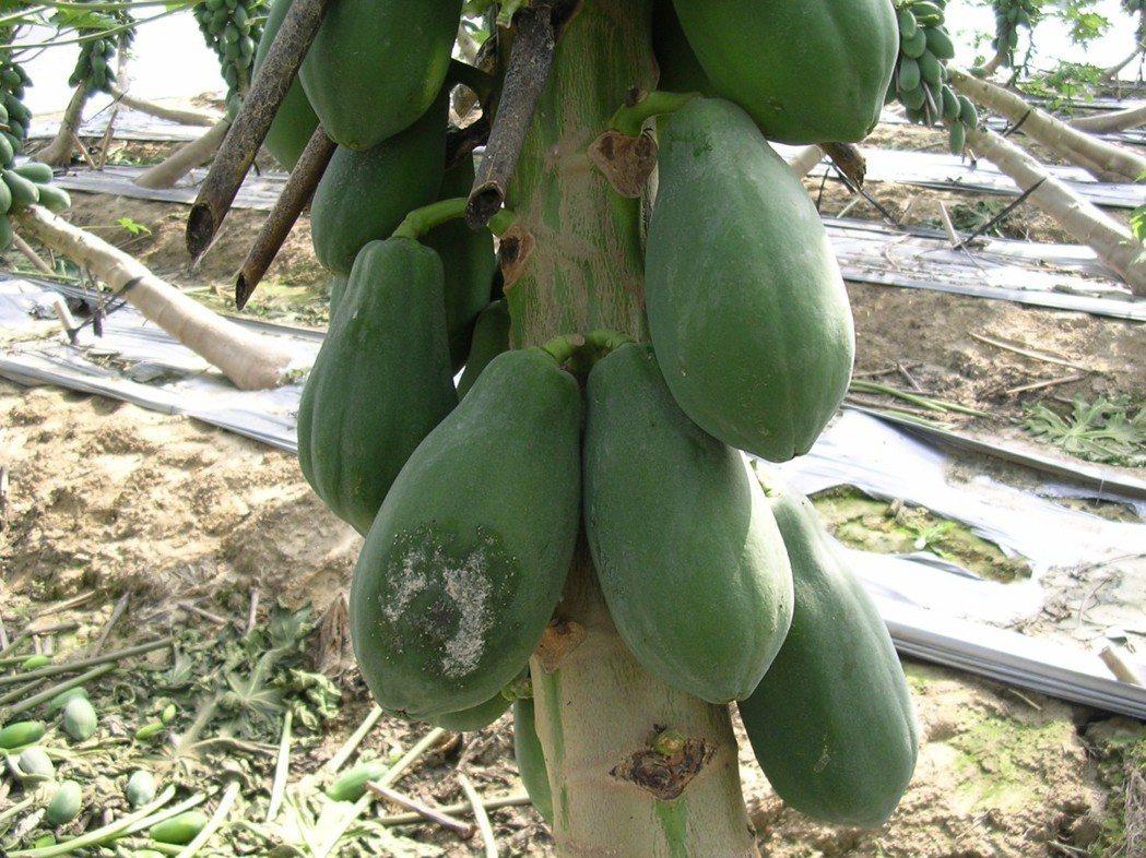 台南區農改場提醒農民,大雨過後易出現的木瓜果疫病病癥。圖/台南區農改場提供