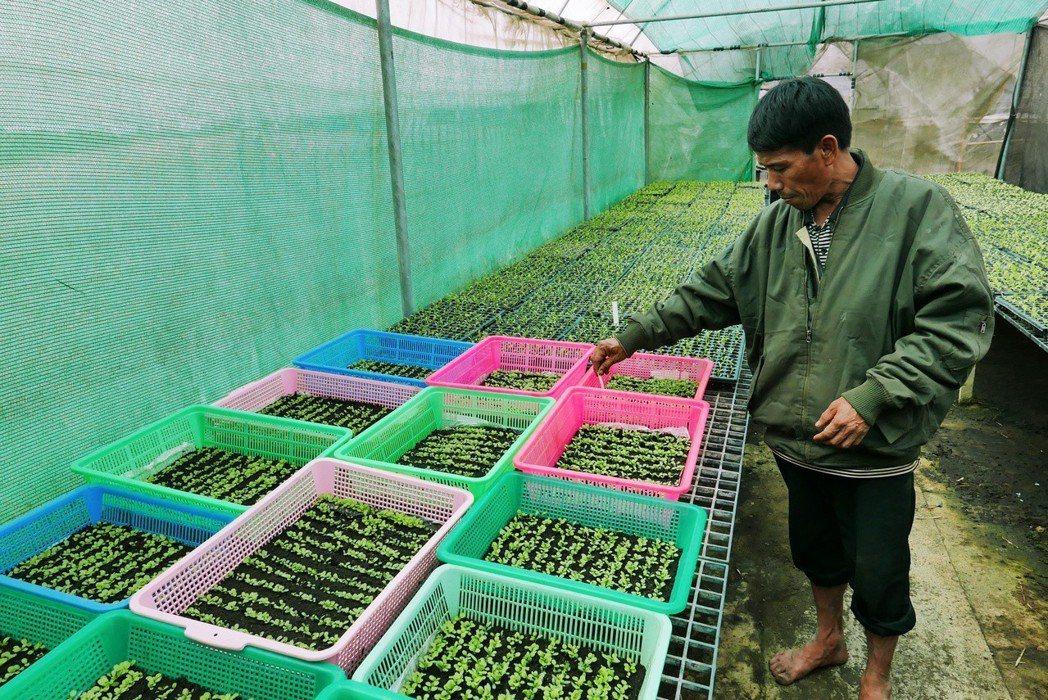 少數民族透過皇家提供的蔬菜育苗技術,提升產品品質。 圖/作者許純鎰拍攝