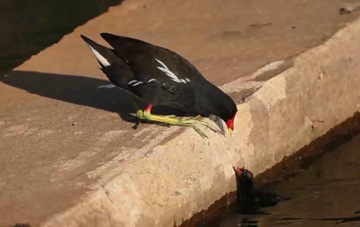 紅冠小水雞幼鳥掉進溪裡,根本無法自行爬上岸,親鳥束手無策,只能在旁焦急等候。圖/...