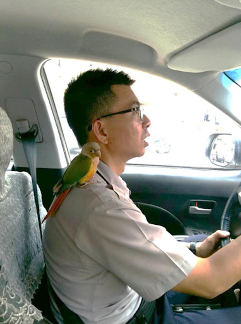 台中市第四警分局春社所警員李俊德,開車載著肩膀上的鸚鵡「碰碰」,尋找失主。記者陳...