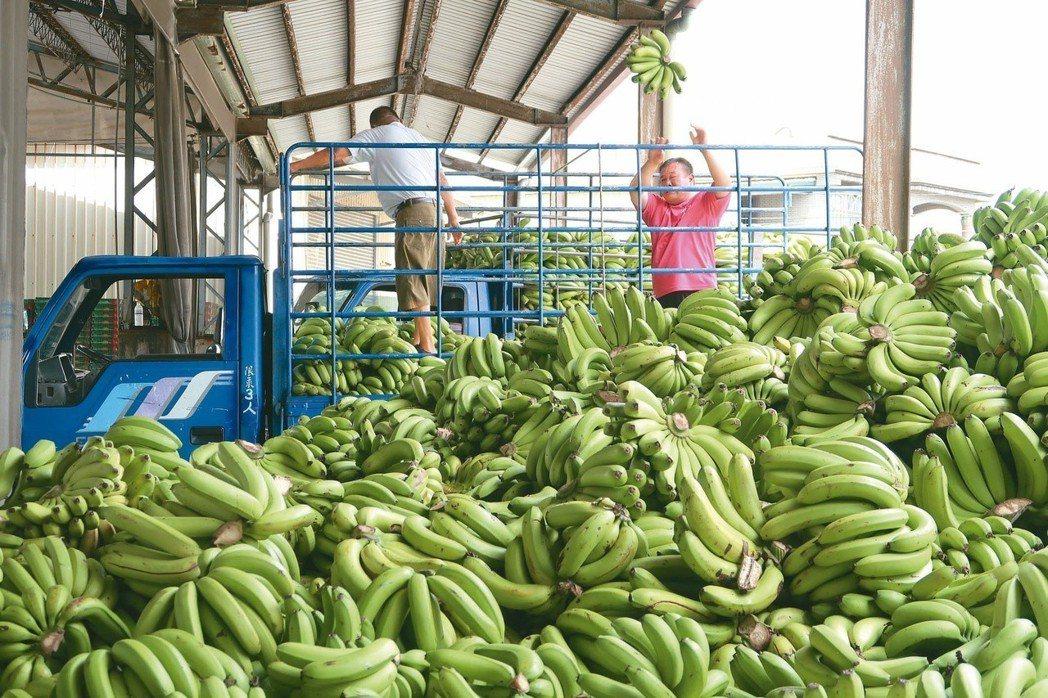 近日香蕉價格暴跌 圖片來源/聯合報系