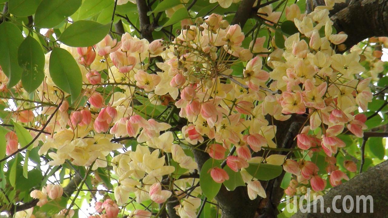 彩虹旃那花季從6月到9月,今年盛開期可能在7月間。記者謝恩得/攝影