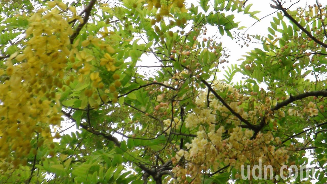 一棵樹開了彩虹旃那和阿勃勒兩種花的奇景,研判可能嫁接後同時發芽生長,形成稀有的奇...