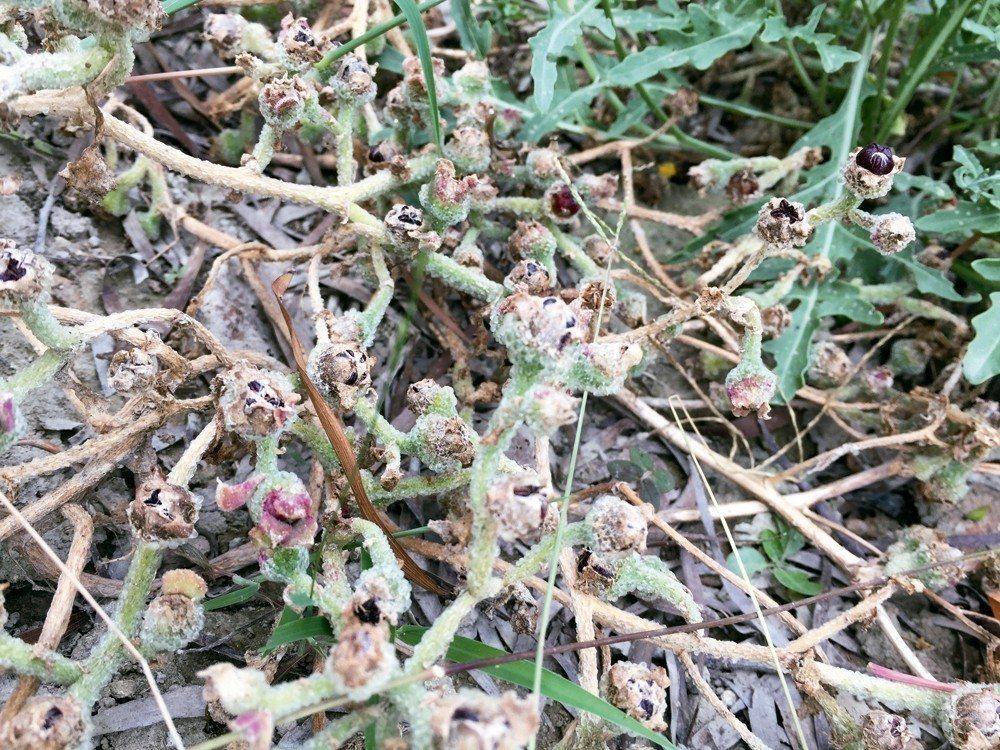 不耐旱的冰菜,早早就結出種子,等待氣溫下降「東山再起」。 圖/朱慧芳