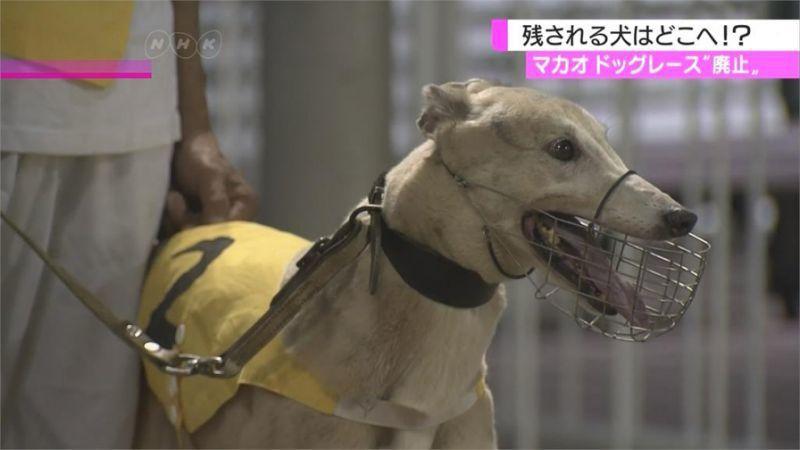 澳門賽狗將吹熄燈號,600多隻賽犬正供人領養。但據報導,當地愛護動物人士擔心狗隻...