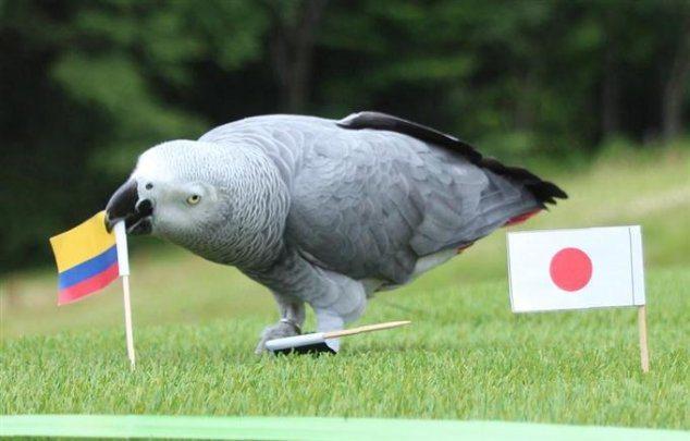 鸚鵡奧莉薇亞,牠預測哥倫比亞將在H組比賽擊敗日本。 擷圖自Mulboyne推特