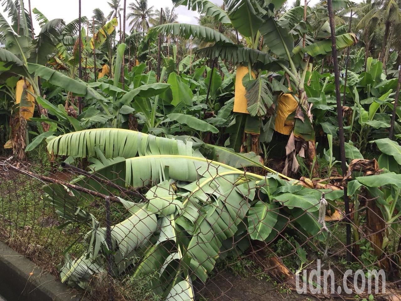 屏東地區至今天上午仍在下雨,農損預料還會攀升。記者翁禎霞/攝影