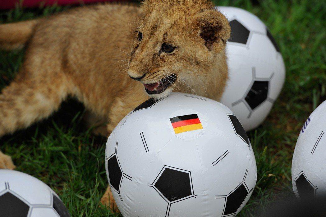 預測世界盃誰冠軍,動物紛紛變身「預測帝」。但不到最後一刻,所有預測都只是參考而已...