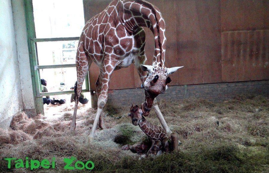 現在除了餵奶,其他時間都盡量讓媽媽陪伴在新生寶寶身邊,期望透過親情的慰藉,提升寶...