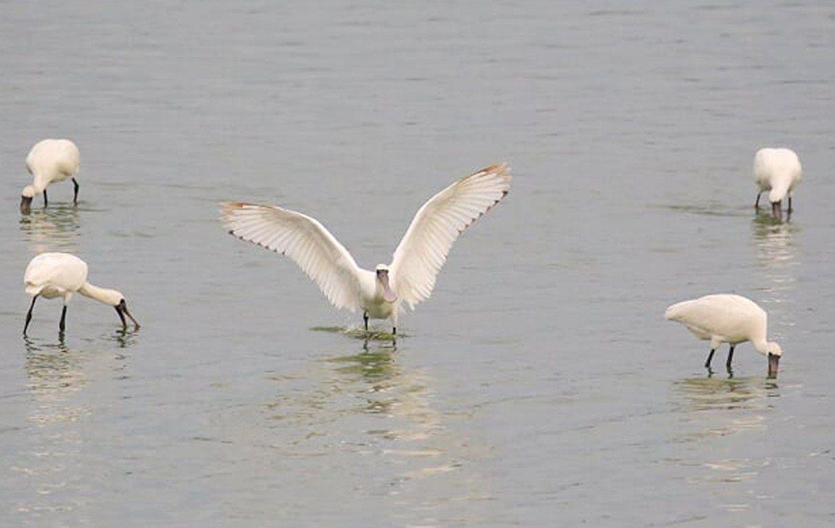 桃園市觀音沿海埤塘首度發現近年桃園最多36隻黑面琵鷺群聚覓食(見圖),野鳥學會驚...