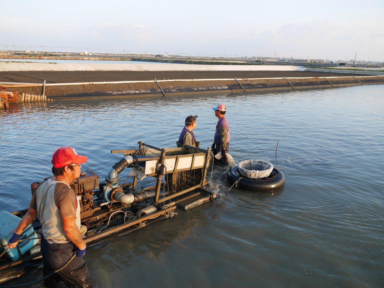 魚塭水質益菌數直接影響文蛤育成率,不少養殖漁民感嘆越來越難養。 甲宸生技/提供