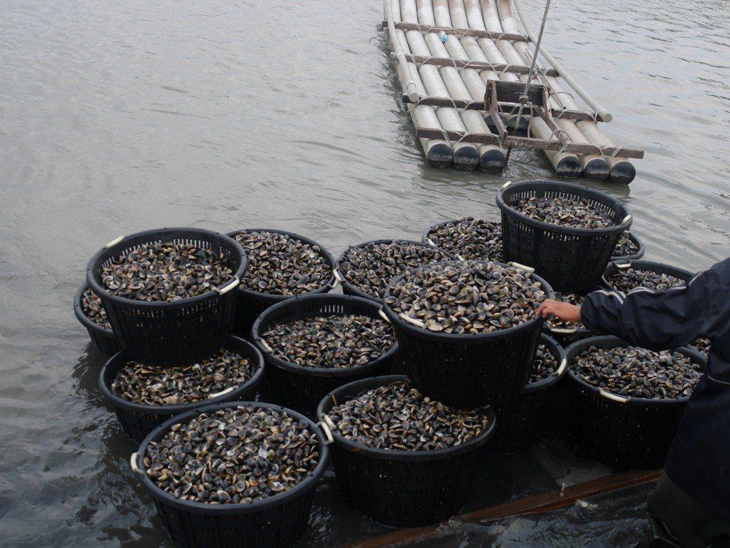「甲宸生技」建議魚塭水質控制在益菌多、壞菌少,才能養出健康大文蛤。 甲宸生技/提...
