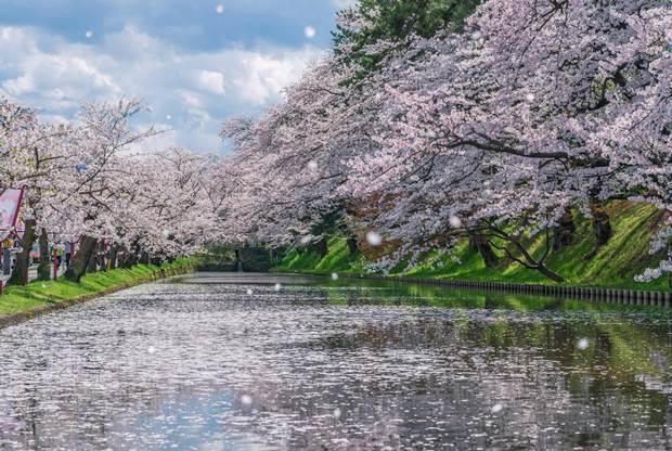 用心維護經營,公園也能成為旅遊勝地。圖為青森弘前公園,是日本百大賞櫻名所。(圖片...