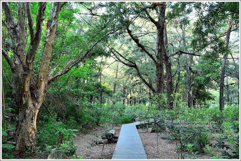 ↑市府在漁光島沙灘旁防風林裡修築一條南北長1公里的步道。