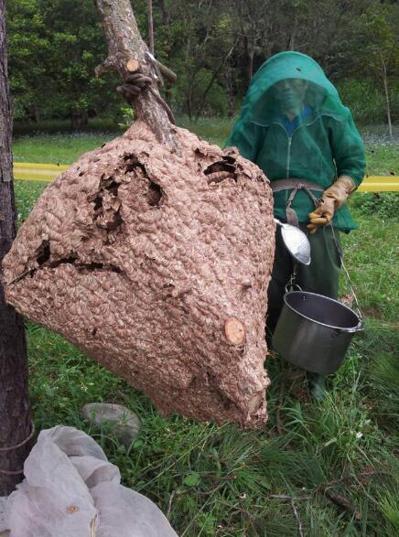 黑尾虎頭蜂巢穴呈現水滴狀,比較大的甚至比小朋友的身高還高。圖╱張家強提供