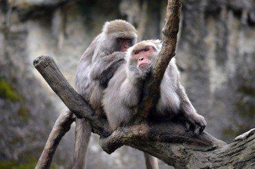 台灣獼猴自保育類下架(上):除名前沒被說清楚的議題