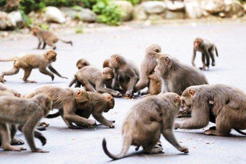 台灣獼猴自保育類下架(下):除名後一定要面對的問題