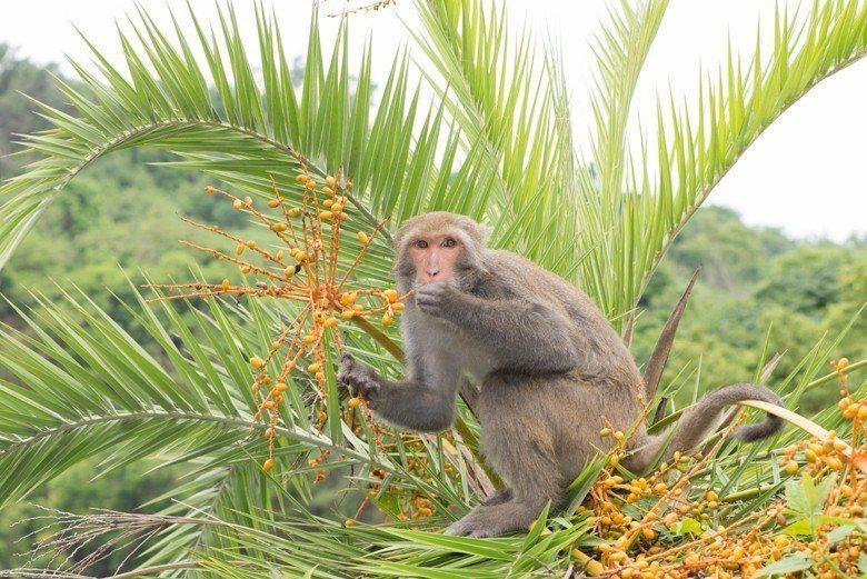 獼猴之所以成為害獸是因為牠們入侵了果園菜園?還是因為台灣的土地利用與淺山經濟政策...