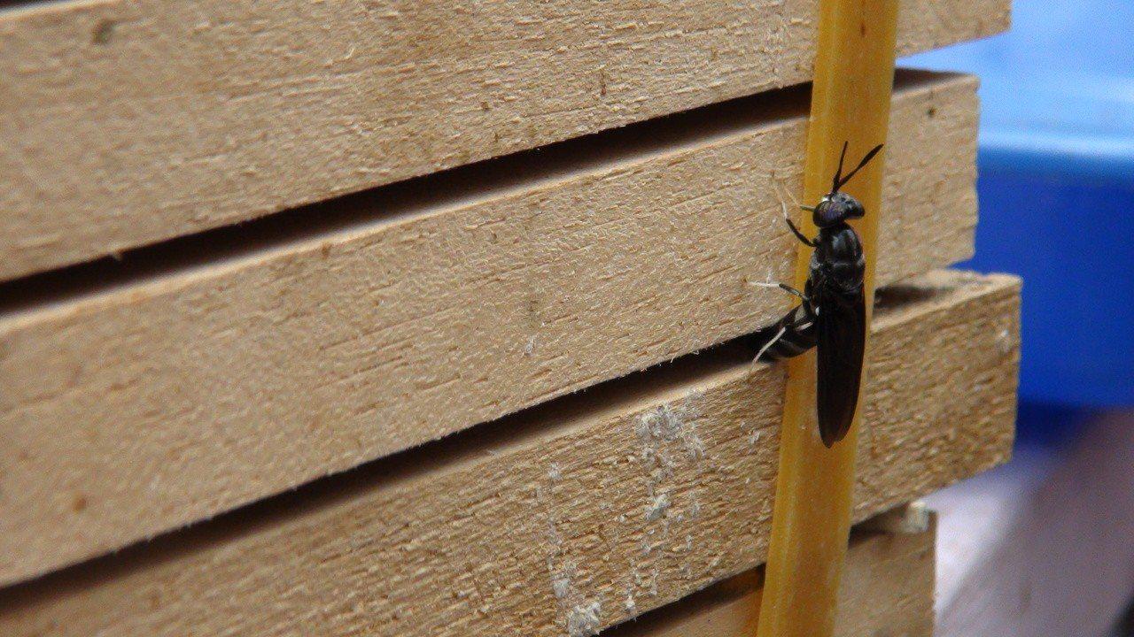 黑水虻在飼育系統的木板間隙產卵。記者謝恩得/攝影