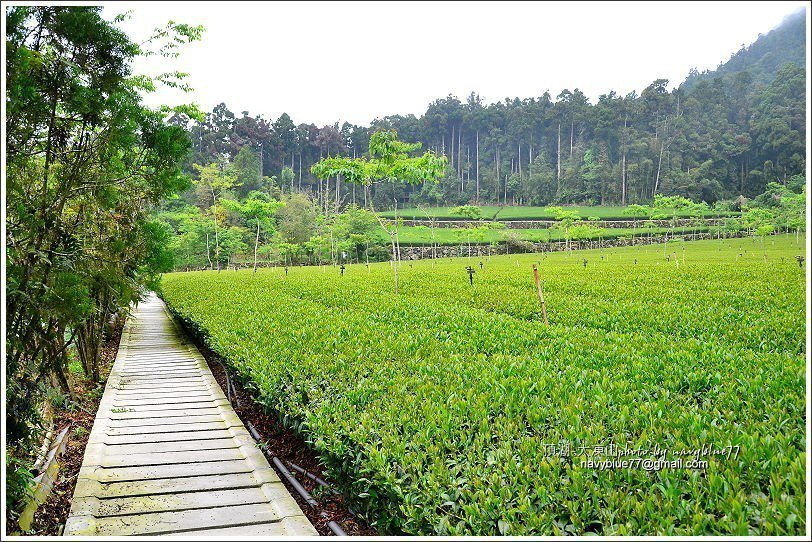 ↑頂湖是阿里山山區重要茶產區,所以不時可見茶園景觀。