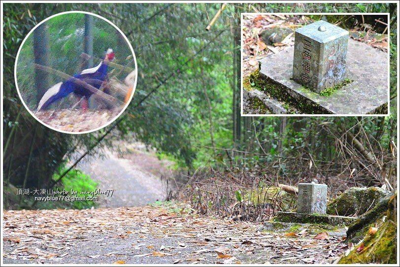 ↑竹林產道上的三角補點基石,在附近出現藍腹鷳。