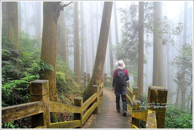 ↑杉林加上霧嵐,芬多精爆多。