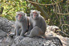 林均翰/難道就「降」嗎?——當台灣獼猴不再是保育動物