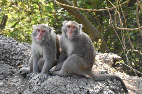 難道就「降」嗎?——當台灣獼猴不再是保育動物