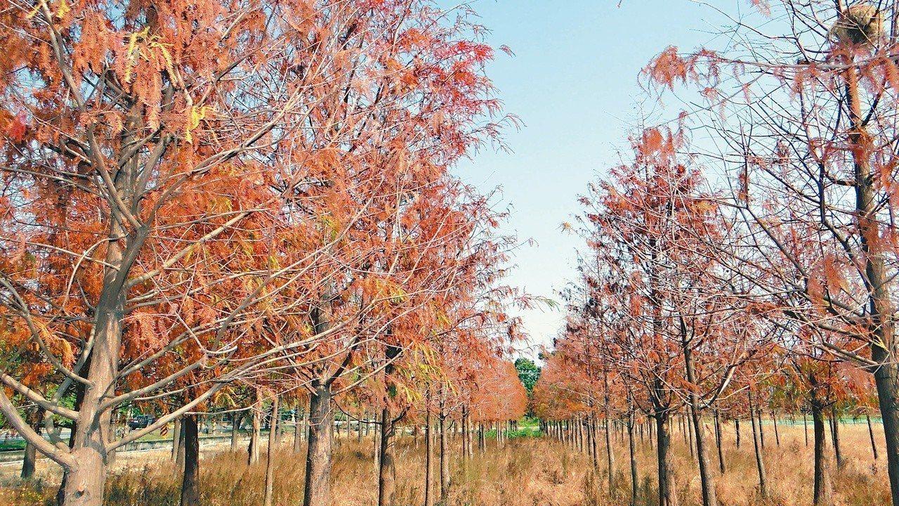 六甲林鳳營牧場旁大批落羽松,呈現異國蕭瑟美感。記者謝進盛/攝影