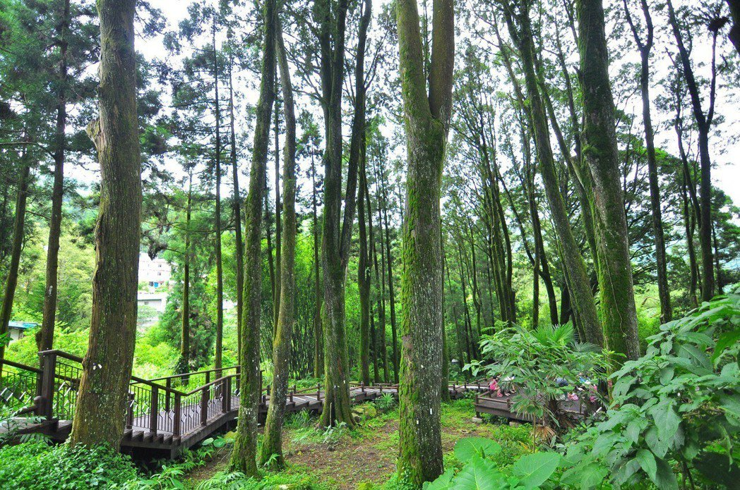 奮起湖的肖楠母樹林。 圖/嘉義林區管理處提供