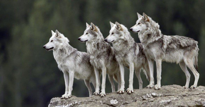 狼性(示意圖,非中國狼) 圖片來源/huffingtonpost