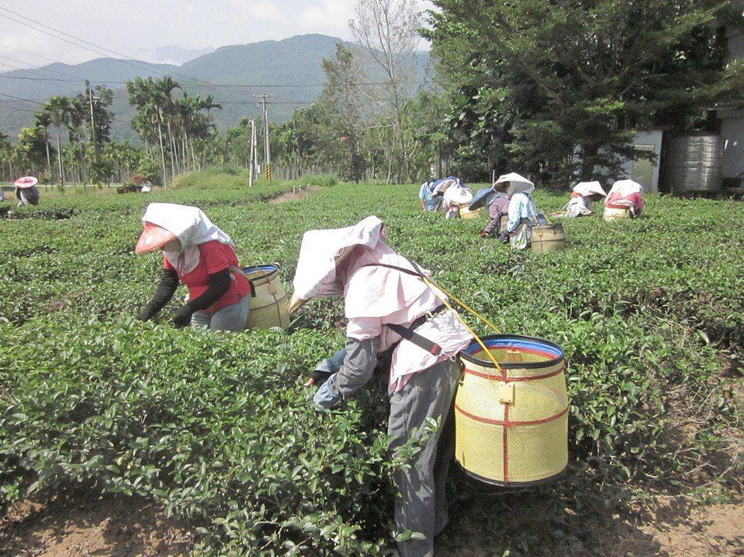 農委會茶改場表示,金萱茶沖泡熱水後,奶香味比較能夠散發出來。聯合報系資料照